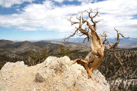 Ancient Bristlecone Pine on peak.